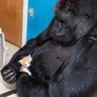gorilla-holds-kitten
