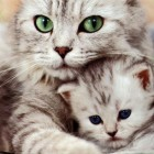 kitten_mother_16