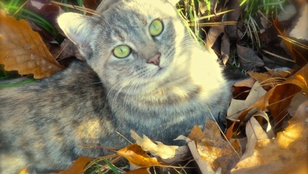 Autumnhe cat in  leaves