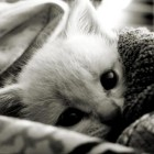 animal-black-and-white-cat-cute-Favim.com-594043