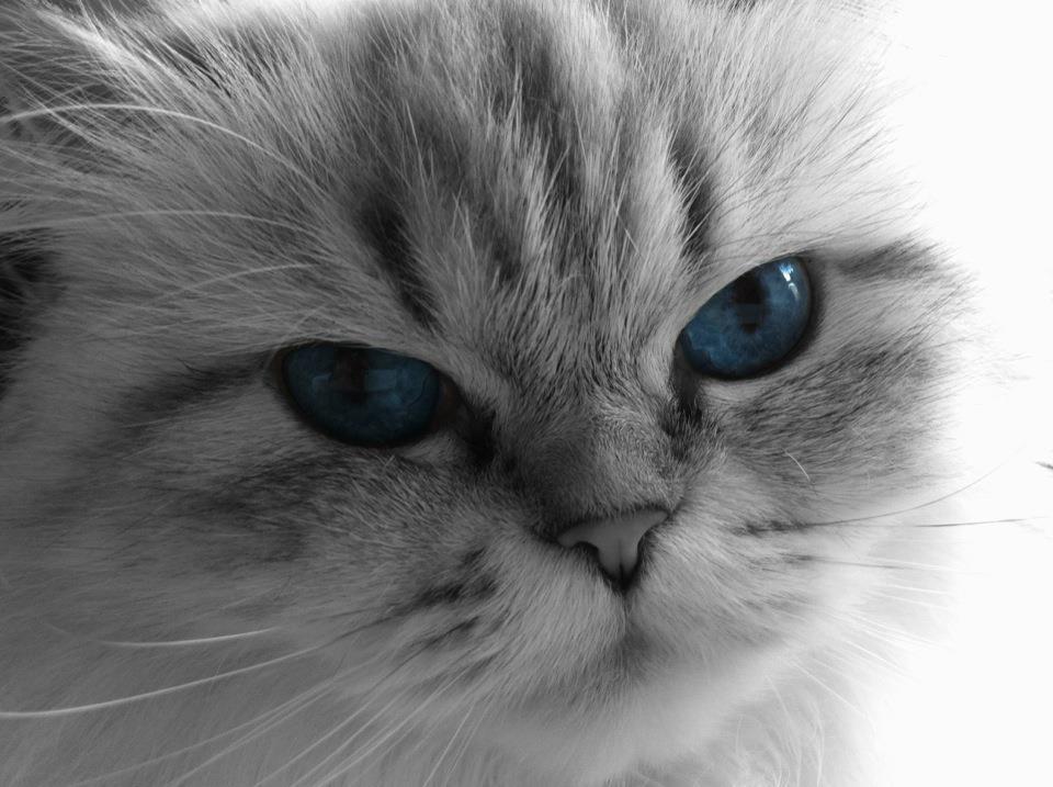 Luna-blue-eyes