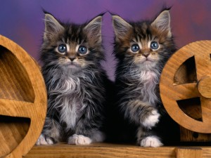 black-maine-coon-cat-4
