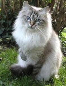siberische_kat