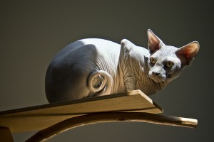 Kinsey the Sphynx