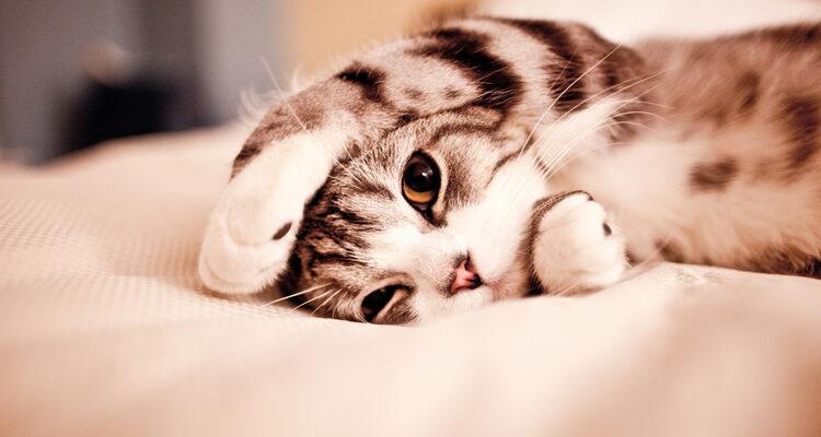 kitten-kopen